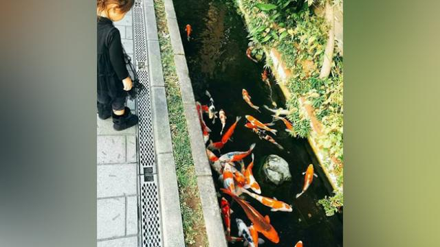 ONLY IN JAPAN Koi Fish Lives In Some Drainage Canals In Japan.