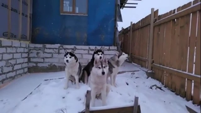 Huskies gather in the mornings to sing the song of their