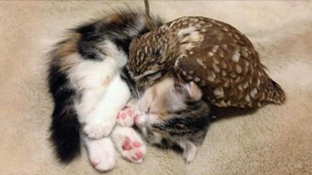 Kitten And Owlet Become Best Friends And Nap Buddies
