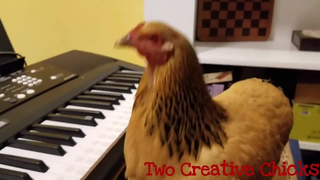 Patriotic Chicken Playing 'America the Beautiful' on Keyboard Piano