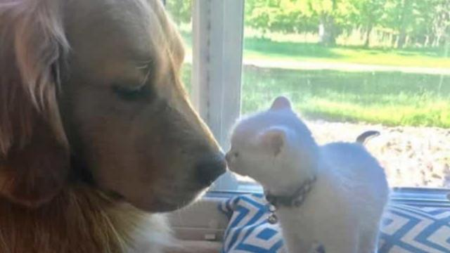 Un Golden Retriever crió a un gatito y ahora son una familia inseparable