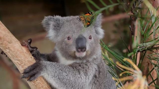 Butterfly adds flare to koalas photo shoot