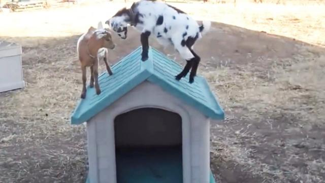 Cute Baby Goats - A Cute And Funny Baby Goats Compilation