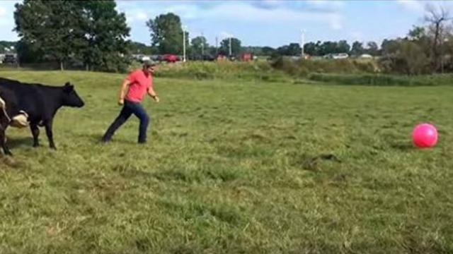 Cows Playing With Ball Becomes Heartwarming Scene