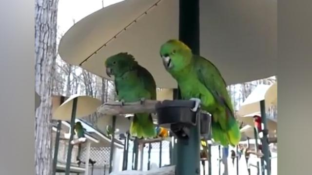 Chatty Amazon Parrots