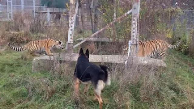 Adorable Footage Proves That Dogs Are A Tigers Best