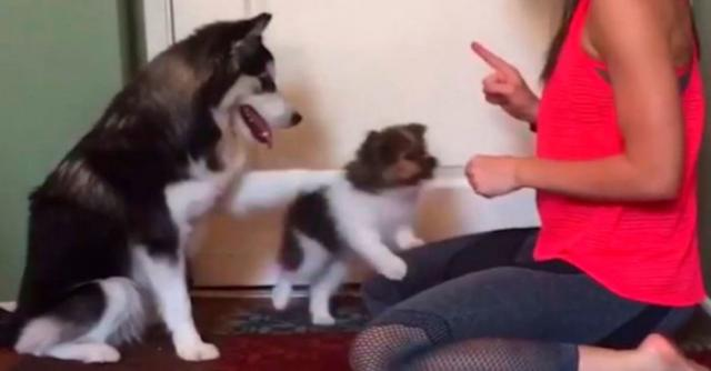 Little Dog Has No Idea How To Get A Treat So Big Dog Intervenes In Hilarious Way