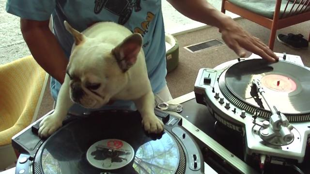 DJ Dog Plays Along With Handler