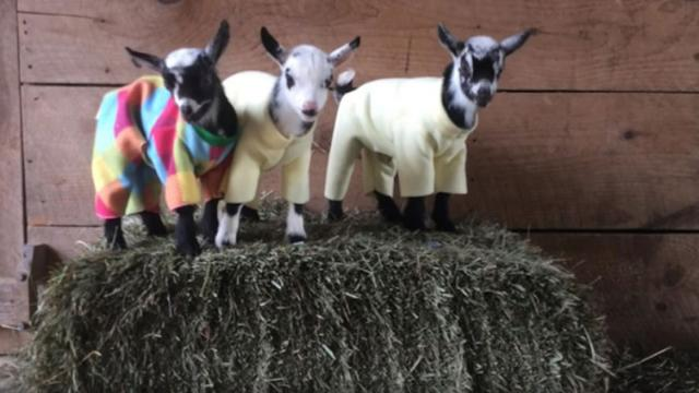 Adorable Baby Pygmy Goats Dressed In Pyjamas Have A Party In The Barn