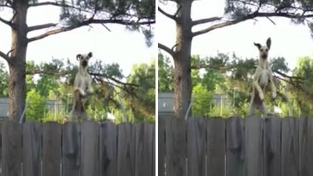 Great Dane Jumps On Trampoline To Look Into Yard -