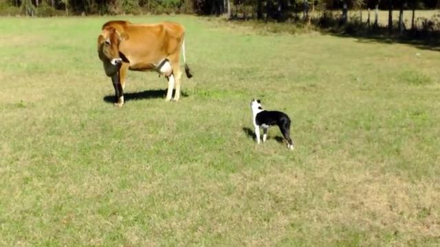 Friendly Dog Challenges Dairy Cow To Play Chase