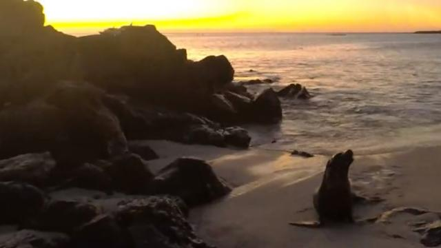 Sea lion has fun body surfing during sunset