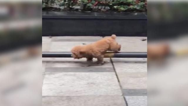 Small dog wows pedestrians by practicing its obstacle trick at a parking railing outdoors
