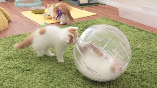 Kittens In Hamster Balls - Incredible Things
