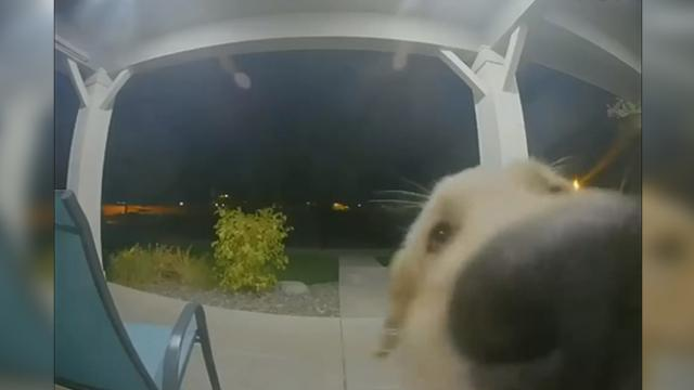 Puppy Escapes, Then Rings Doorbell to Get Back Inside
