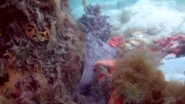 Annoyed octopus puffs up for diver