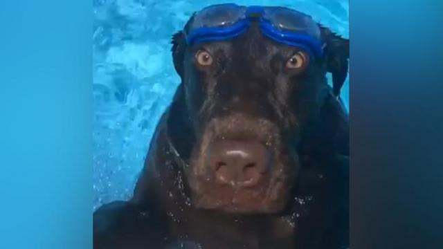 Splash! Very Good Dog Jumps Into the Pool on Owner's Count of 3