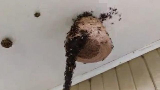 Incredible footage shows 'a million' ants 'building a bridge' to attack a wasp nest