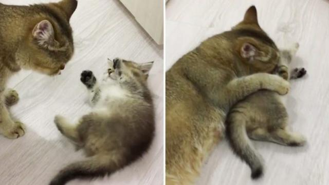 Adorable kitten tries his best to not let mother cat from grooming his fur_Large