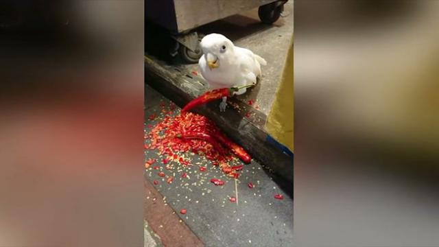 This parrot loves eating red hot chili peppers