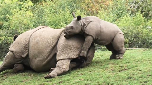 Energetic baby rhino begs mom to play with him