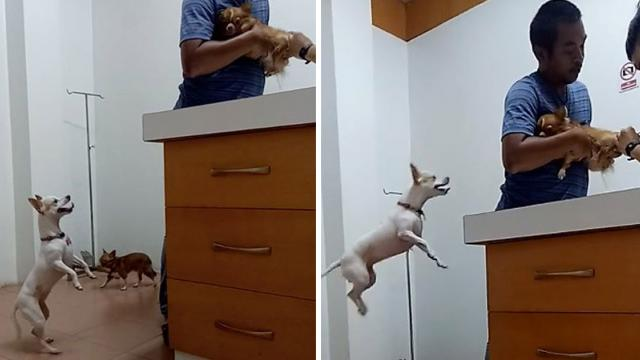 Concerned Dog Jumps Up To Comfort Friend At Vet -