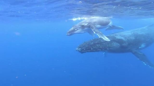 Beautiful encounter with Humpback whale mother and calf