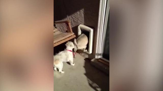 Burglar Deer Breaks Into House Through Doggy Door
