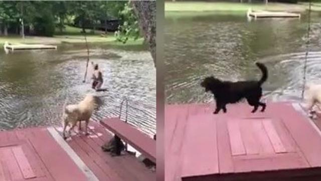 Black Labrador Goes Nuts When Owner Rope Swings Into Lake