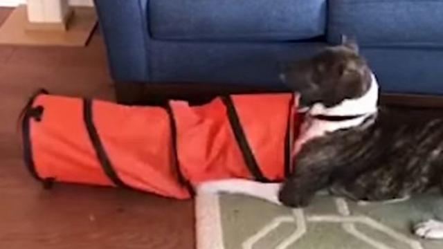"Cat Sticks Head Inside Tunnel But It's His Funny ""Trick"" On Dog That Has Everyone In Laughter"
