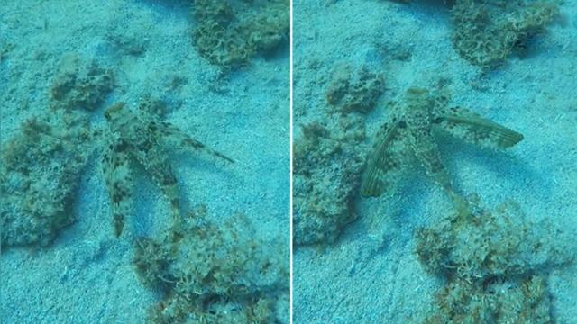 Diver spots odd 'winged creature' while snorkeling But when