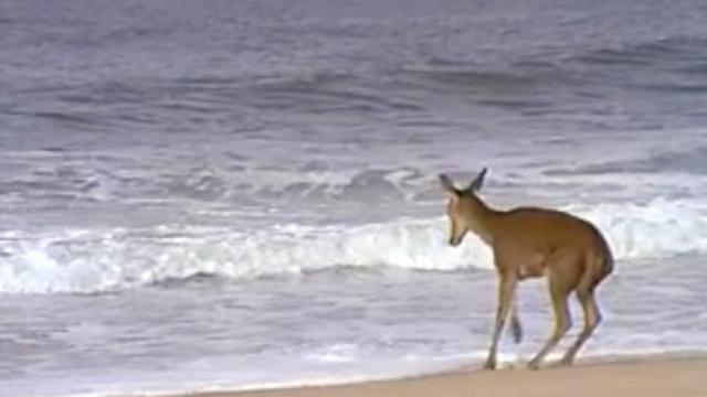 Watch this deers reaction when waves come toward him at the beach