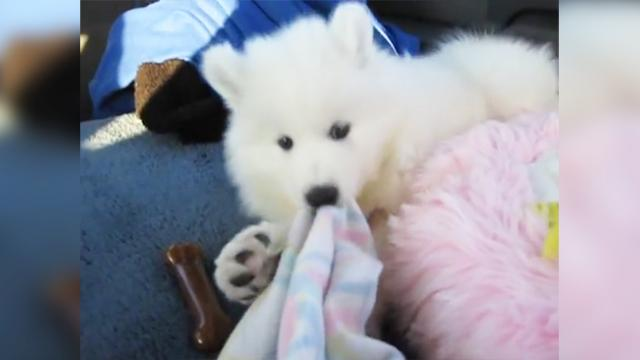 [VIDEO] Lexi The Samoyed Meeting Her Family