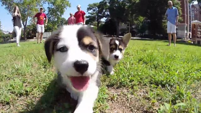 GoPro- Corgi Puppies at Georgia Tech