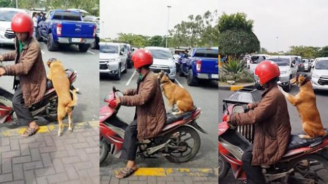 Ruff rider- Adorable paw-abiding pooch rides on the back of her owner's moped, wearing a helmet, and