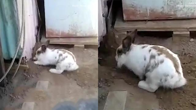 Hero Rabbit Digs Frantically To Free His Kitten Friend