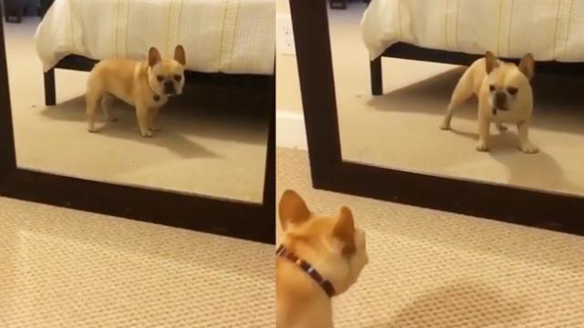 French Bulldog Goes Bonkers Dancing In Front Of Mirror And It's Impossible Not To Laugh