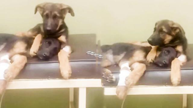 Puppy Brother Comforts Sick Sister At Vets