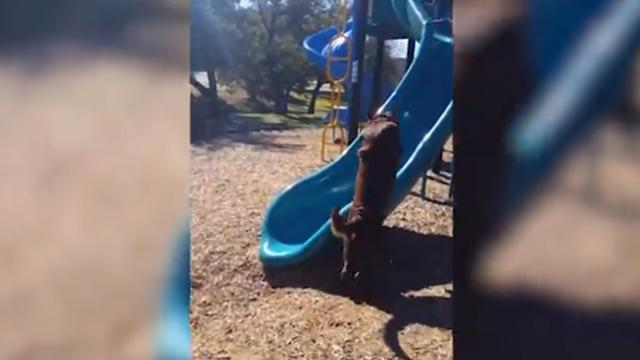 Giant Chocolate Lab Tries To Climb A Giant Slippery Slide And