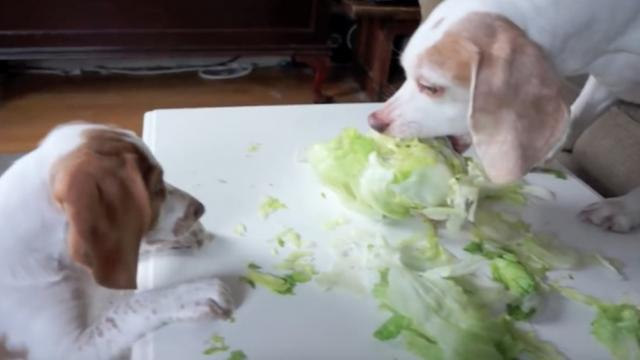 Clumsy Puppy Steals Lettuce- Cute Puppy Potpie & Funny