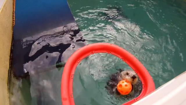 Sea Otter Taught To Play Basketball For His Health (WATCH)