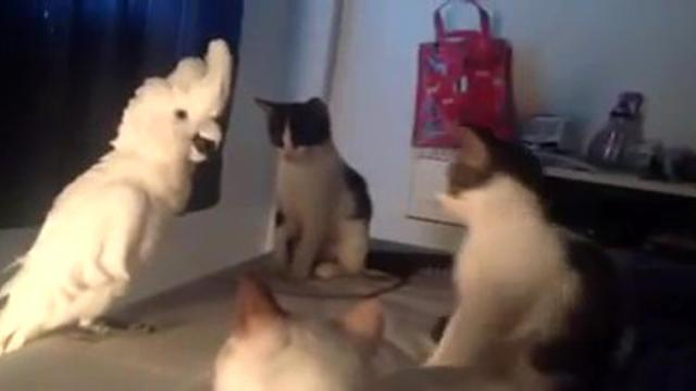 Lonely Parrot Wants To Fit In With The Gang Of Cats What He Does