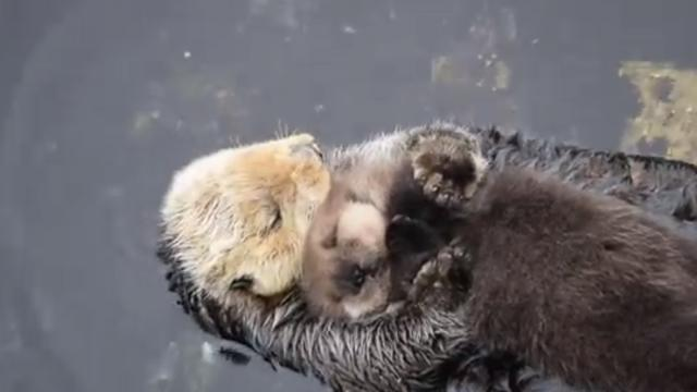 Gone Viral! This Mum & 1 Day Old Baby Sea Otter Cuddling Are