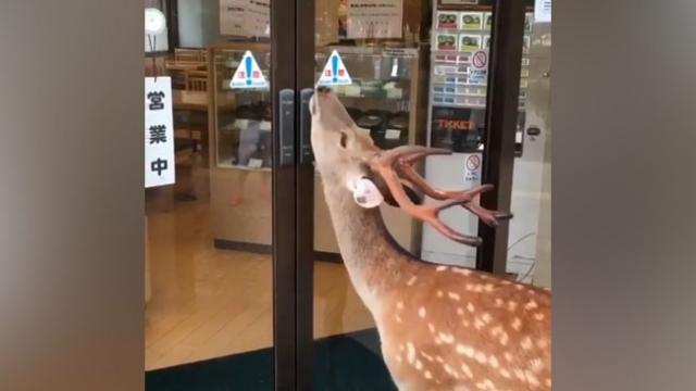 Smart deer at Nara Park in Japan opens restaurant's door with its chin
