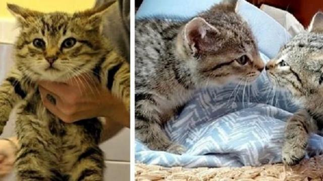 Bobtail kitten saved by rescuer and goes back to get her brother to reunite them
