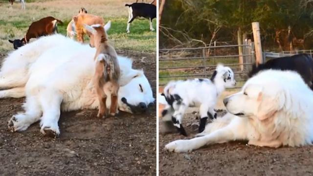 Sleepy dog lets baby goats playing and jumping on him