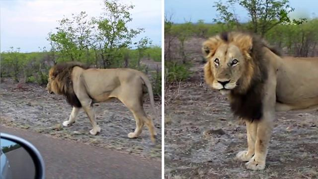 Safari-goer hounds lone lion in hopes of photo op—but when