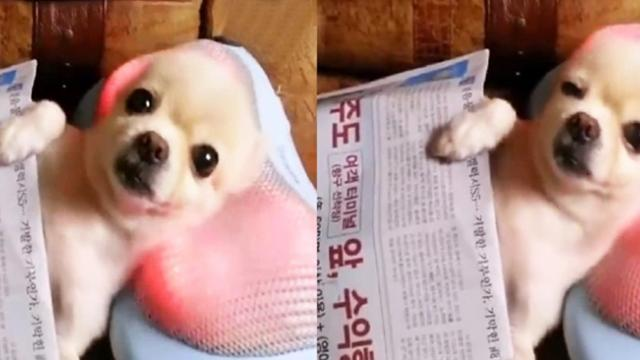 Dog looks relaxed, but seeing how it reacts to the massage pillow—I can't get over it