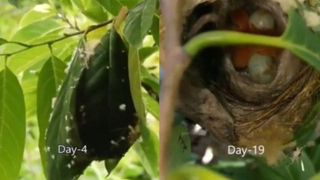 See Close-up Mother Birds Stitching Leaves to Make Their Nest Millions of People Have to Say Such