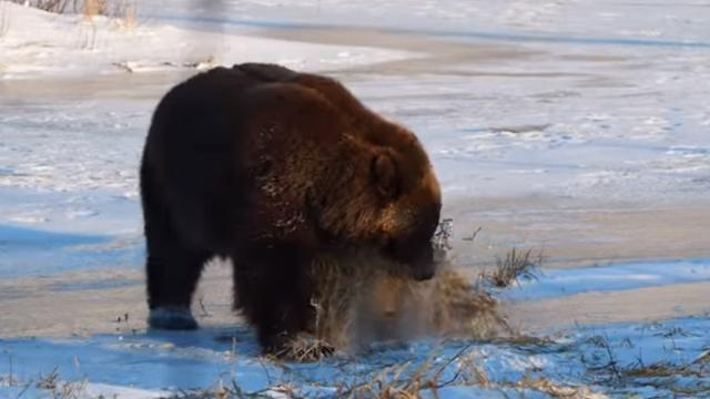Bear Playing With Hay Is Adorable